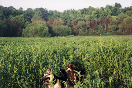 Sheriff and The Red Dog running through the marshy weeds at The Asylum.  Right about where they are in this picture is where you'll find the Blairstone Extension running through today.  (2001?)